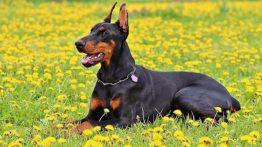 سگ-نژاد-دوبرمن