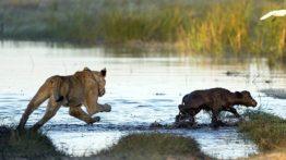 صحنه های مبارزه و شکار حیات وحش (2)