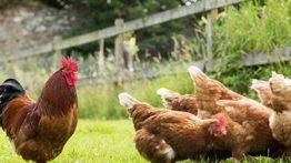 فیلم پرورش جوجه مرغ و خروس