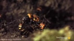 نبرد مرگبار زنبورهای قاتل در کلونی