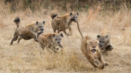 Attack of the hyena herds on lion