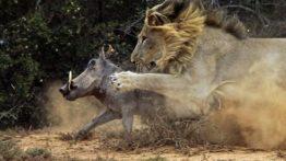 شکار گراز توسط شیر !! Boar hunting by milk