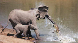 Elephant Hunting by Crocodile
