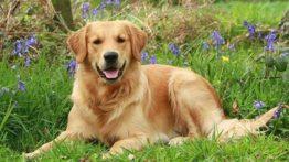Golden Retriever Dog (2)