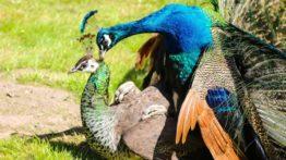 Peacock mating