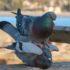 Pigeon mating