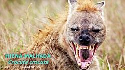 جنگ و نبرد شیرها و کفتارها در حیات وحش