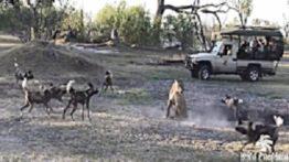 حمله سگ های وحشی به شیر حمله شیر به سگ های وحشی به صورت همزمان