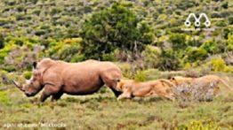 حمله شیر ها به کرگدن