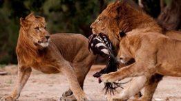 حمله و شکار حیوانات وحشی و درنده