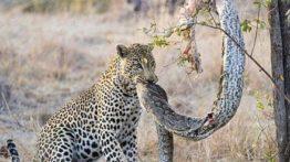 حیات وحش، حمله پلنگ به مار پیتون برای شکار