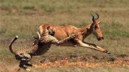 دنیای وحشی حیوانات ( شکار )