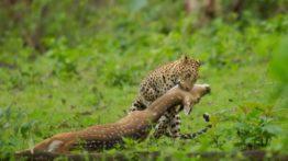 شکار آهو توسط پلنگ وحشی