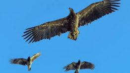 شکار جذاب غاز وحشی توسط عقاب – نبرد سگ و عقاب – نبر خرس و عقاب