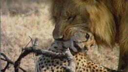 شکار حیوانات , شیر , پلنگ , سگ وحشی
