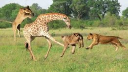 شکار زرافه توسط گله شیرهای ماده مستند حیات وحش