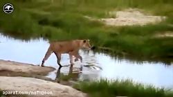 شکار فوق العاده دیدنی حیوانات وحشی