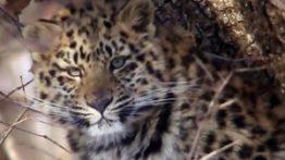 شکار هیجان انگیز یوزپلنگ