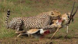 شکار کردن حیوانات