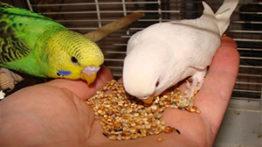 غذا دادن به مرغ عشق ها