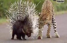 مهربانی عجیب حیوانات وحشی در هنگام شکار – عجیب ولی واقعی