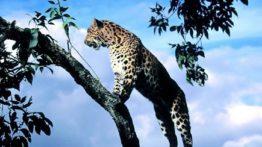 پلنگ وحشی بالای درخت !!!