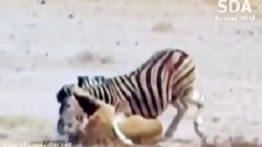 کلیپ شیرهای گرسنه و گورخر Hungry lions and zebra