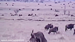 A series of painful attacks by wild dogs on hunting and animal hunting