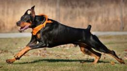 Doberman Dog War movie