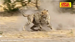 Fight and hunt wild animals in the wild