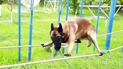 German Shepherd Dog Training for Army Operations