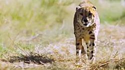 Leopard vs. Ostrich – Speed Battle – Wild Animal Hunting