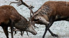 Mating and Battle of the Deer