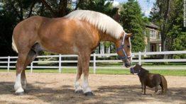 بزرگترین و کوچکترین اسبهای دنیا (1)