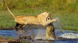 جنگ شیر و کروکدیل