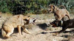 جنگ وحشیانه سگ