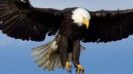 حمله بی نظیر عقاب به حیوانات بزرگ دل نداری نبین +18