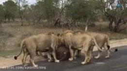 حمله شیرهای افریقایی به بوفالو در وسط جاده