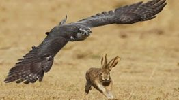 حمله عقاب به خرگوش