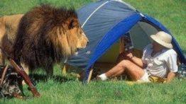 حمله مرگبار شیر به انسان (حیات وحش) شیر گاومیش شکارحیوانات وحشی