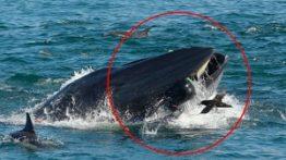 حمله نهنگهای قاتل به بچه وال