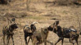 حمله و نبرد سگ های وحشی در حیات وحش