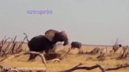 حمله گله شیر به فیل حمله تمساح