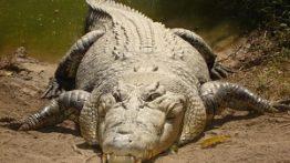 حیات وحش، از خورده شدن مار کبری توسط راسو ت