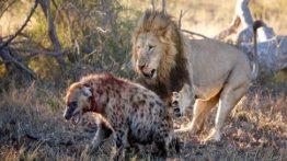 خورده شدن یک کفتار توسط شیرهای نر گرسنه