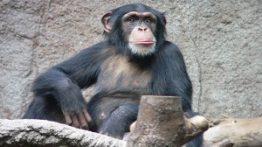 دست یاری شامپانزه به انسان