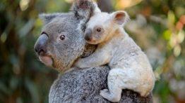 دنیای شگفت انگیز حیوانات تولید مثل کوآلا