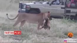 شکار سگ وحشی توسط شیر
