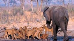 شکار کردن فیل توسط شیر نر