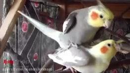 فیلم جفتگیری طوطی عروس هلندی